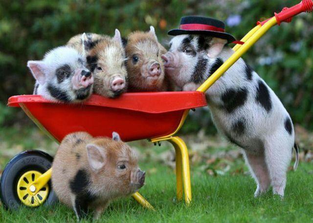 Bunch of piggies