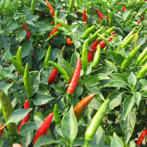 200pcs Hot Jalapeno Pepper Seeds Capsicum Organic Vegetable Plant