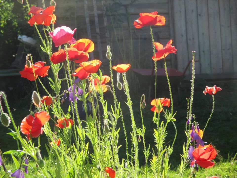 The beauty of poppies in a sunny day, Finland