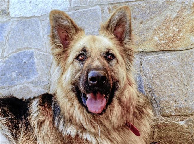 Surgical Neutering Of The Male Dog Dogs German Shepherd Dogs