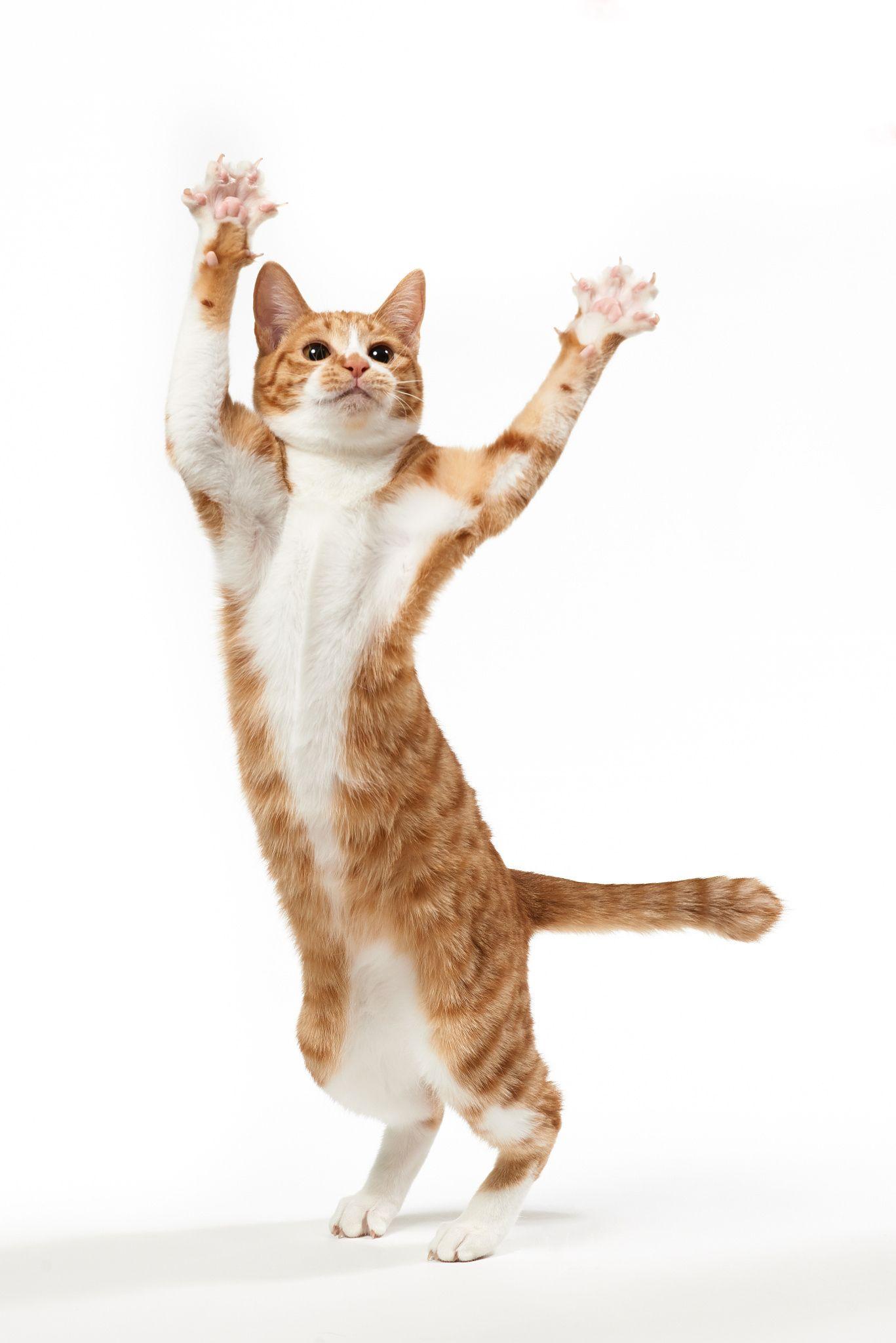 Jazz Hands Cat Pose Cats Cats Illustration