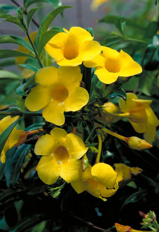 Allamanda Cathartica [Family: Apocynaceae]