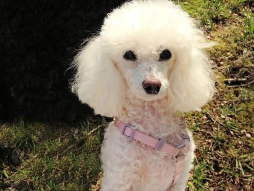 Sadie T Poodle Toy Long Coat Small Senior Female All About Me