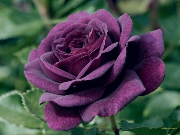 The Purple Rose With Images Rose Seeds Purple Roses Purple