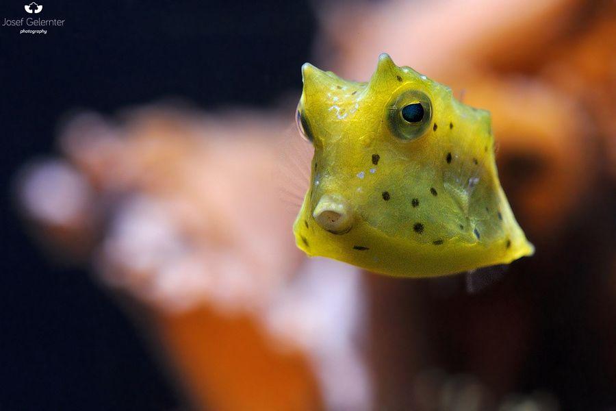 baby cowfish null kawaii baby fish aquarium