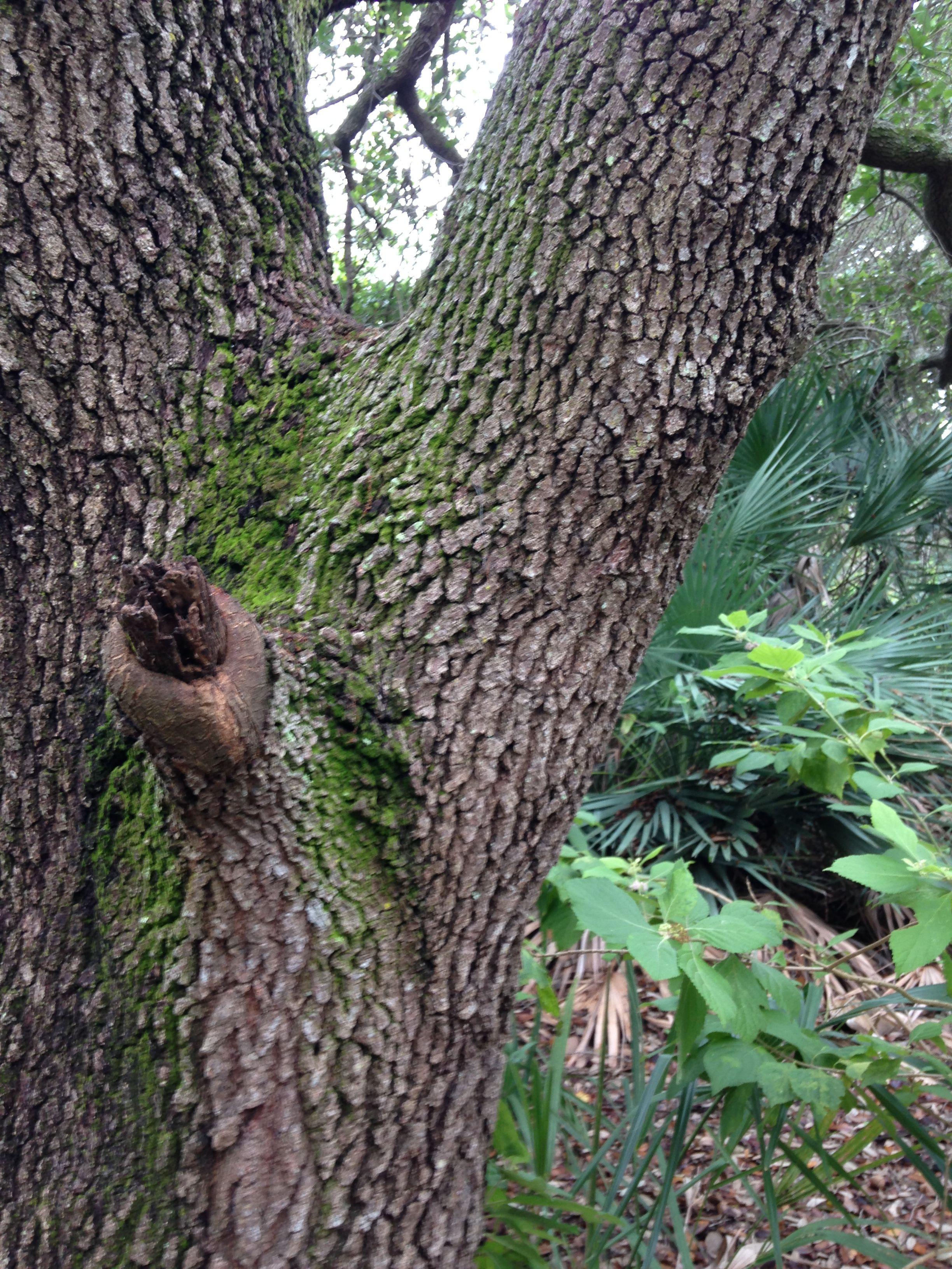 Live Oak Bark Art Tracing Tree Live Oak The Expanse