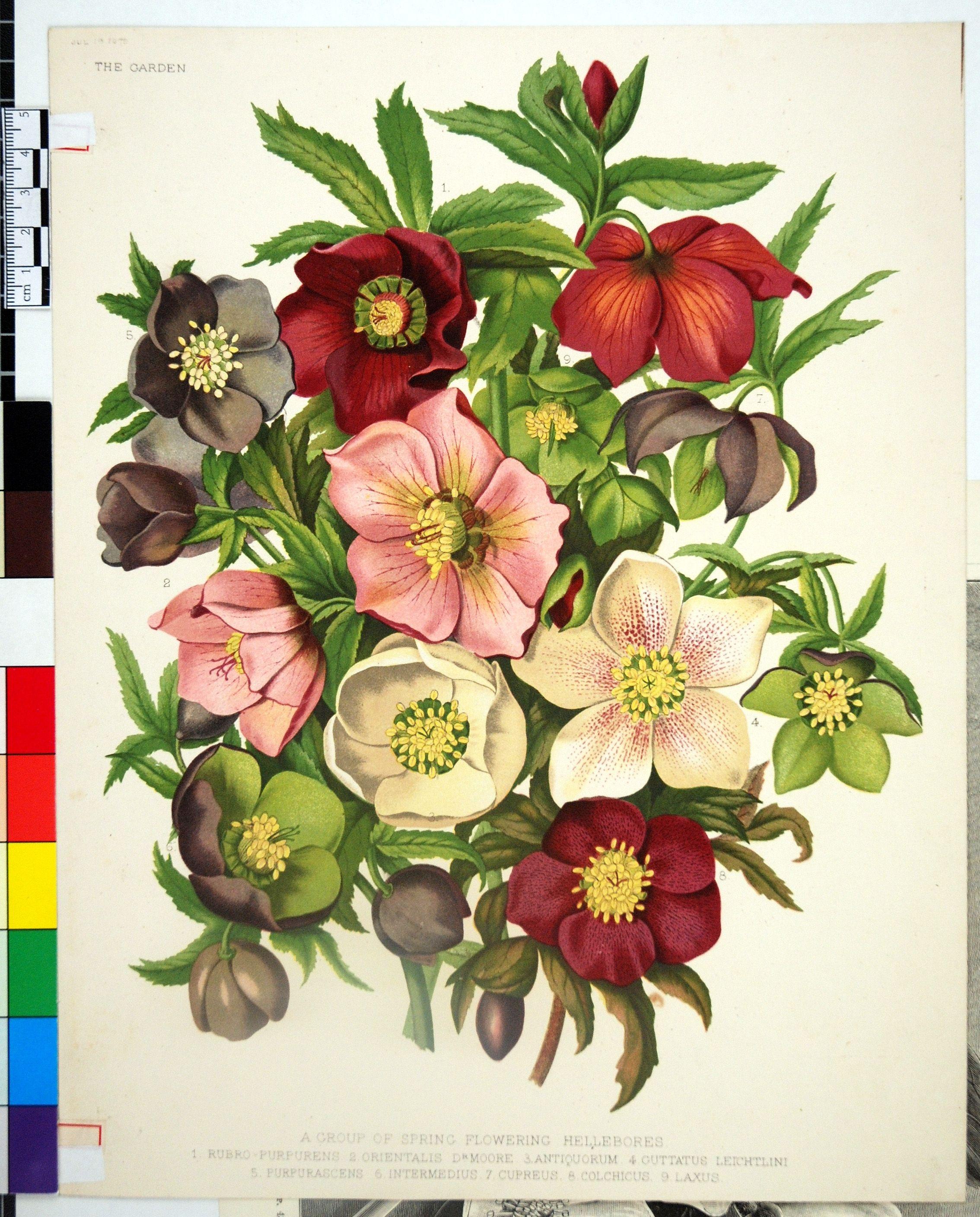 images for botanical illustration flower botanica