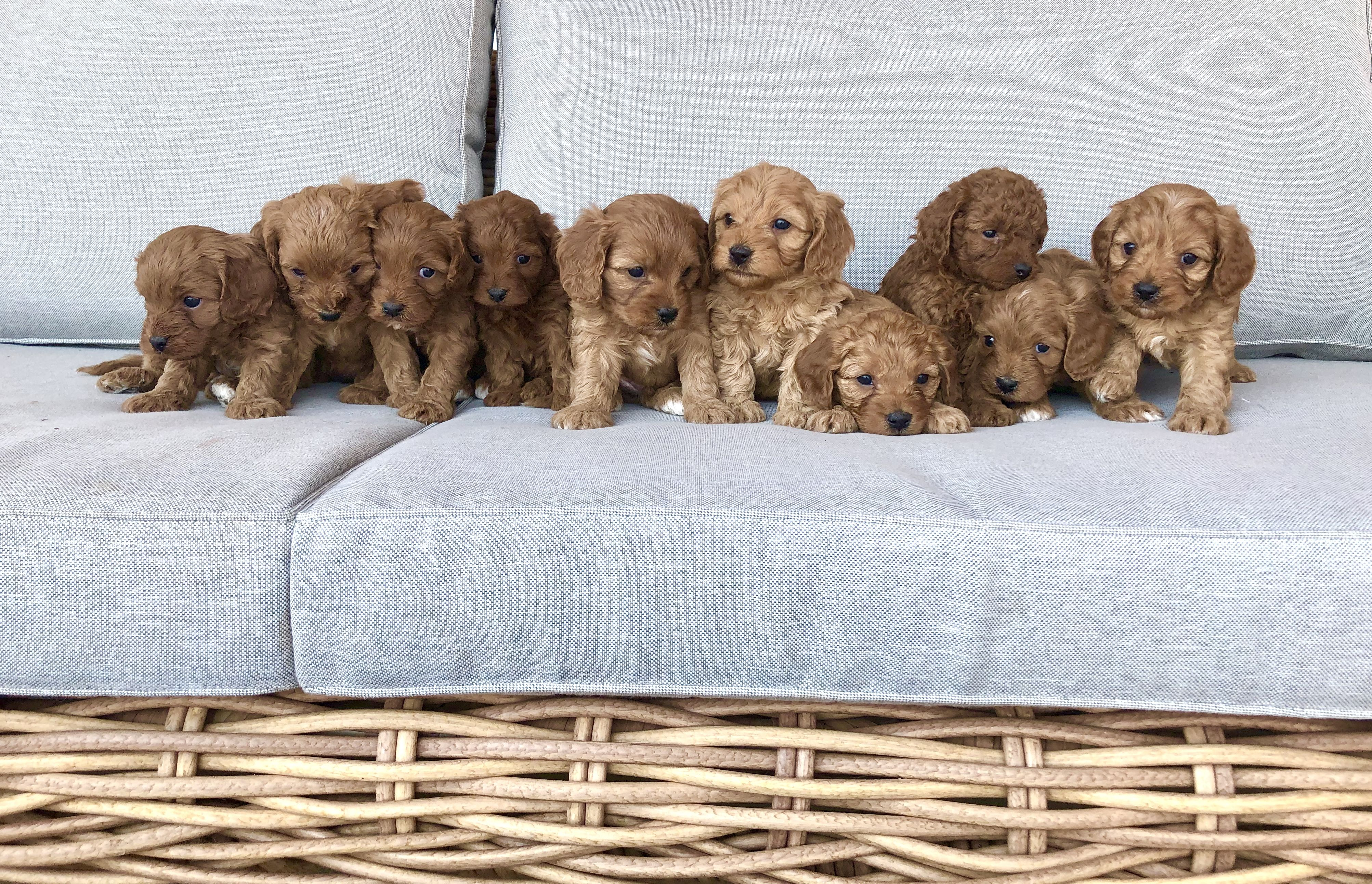 10 Little Toy Cavoodles In 2020 Puppies Cute Animal Photos Cute Baby Animals