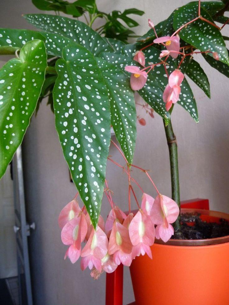 Petit Tamaya Grosses Grappes De Fleurs De Fleurs Grappes