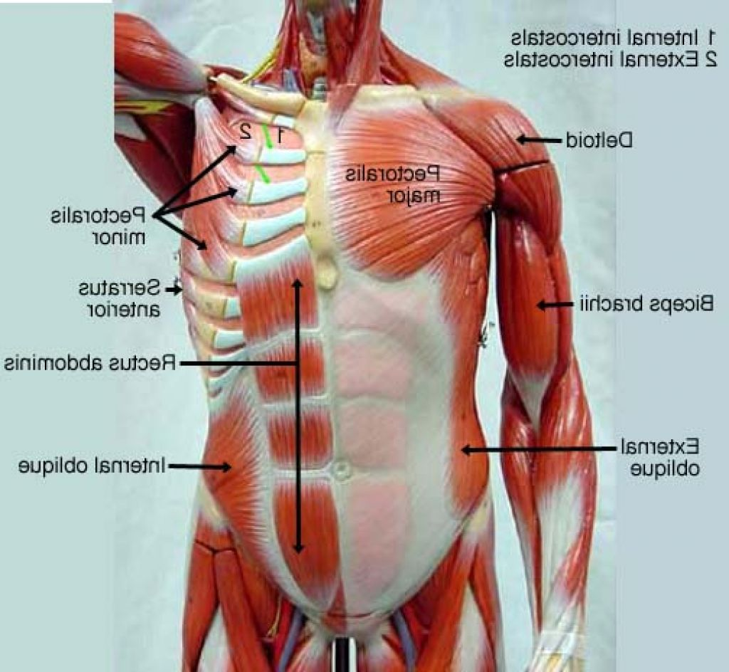 Chest Muscles Anatomy | muscles | Pinterest | Muscle anatomy, Neck ...