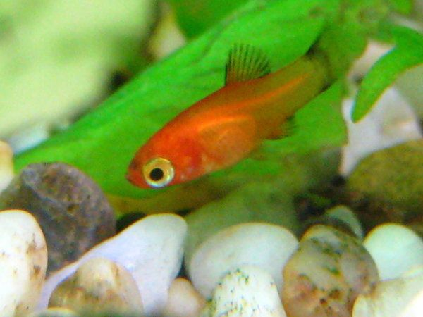 Baby platy my wild platy gave birth and so far i have for Cute freshwater fish