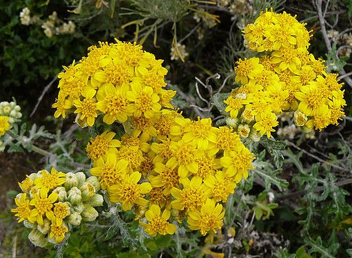 Golden Yarrow [Eriophyllum confertiflorum] An abundant perennial small shrub found naturally at the base of cliffs in rock crevasses, preferring sun exposure. Finely leafed foliage, green above and woolly below. Blossoms are clusters of yellow flowers, displayed from March to August, attractive to butterflies. 2-4'h x 1-4'w