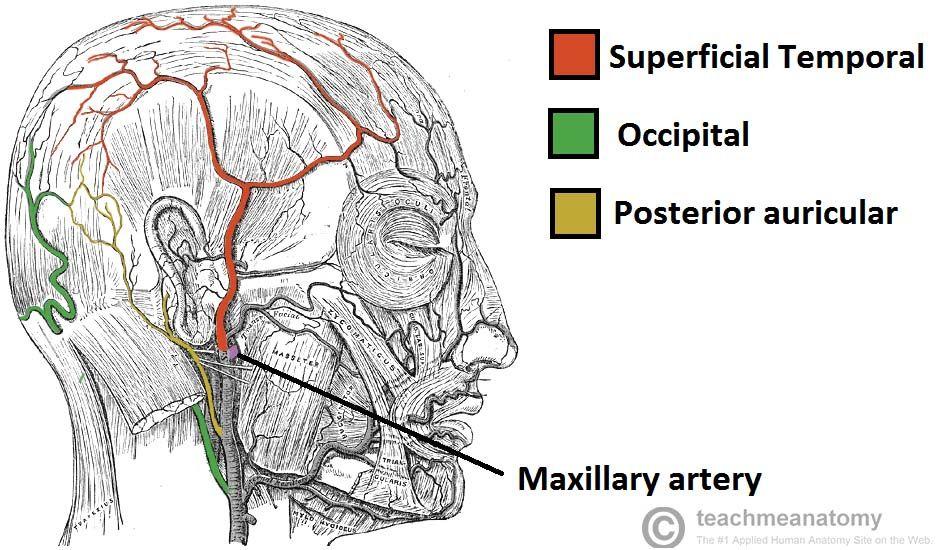 Superficial temporal artery, occipital artery, posterior auricular ...