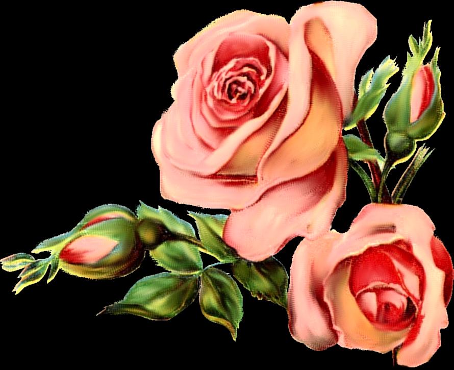 clipart english rose - photo #44