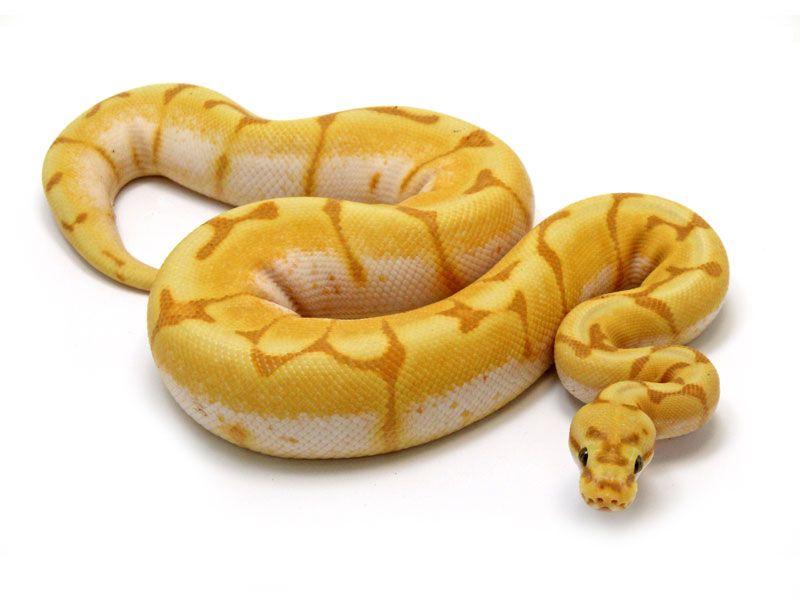 Super The 25+ best Python regius ideas on Pinterest | Ball python, Ball  XA29
