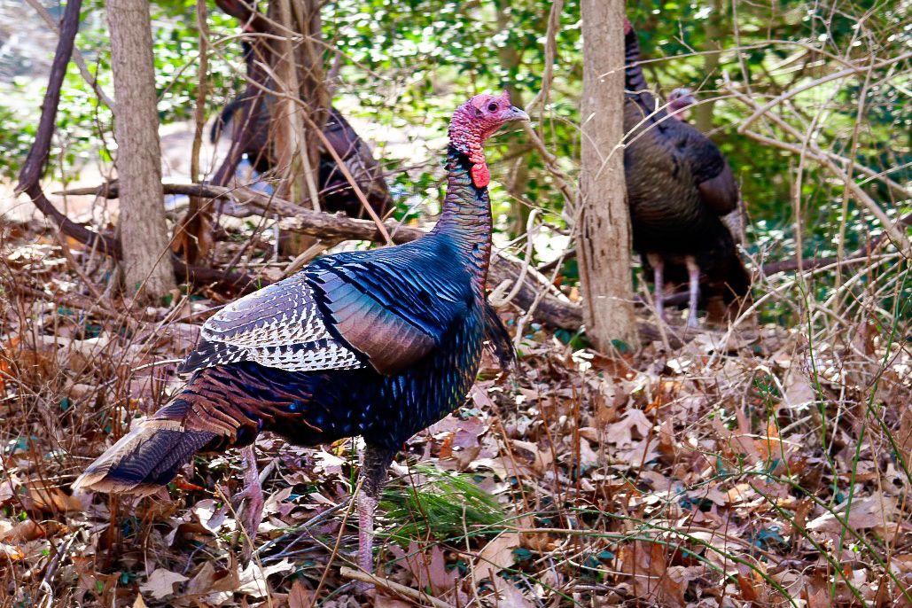 Shelter Island Turkeys Shelter Island Beautiful Creatures Wetland