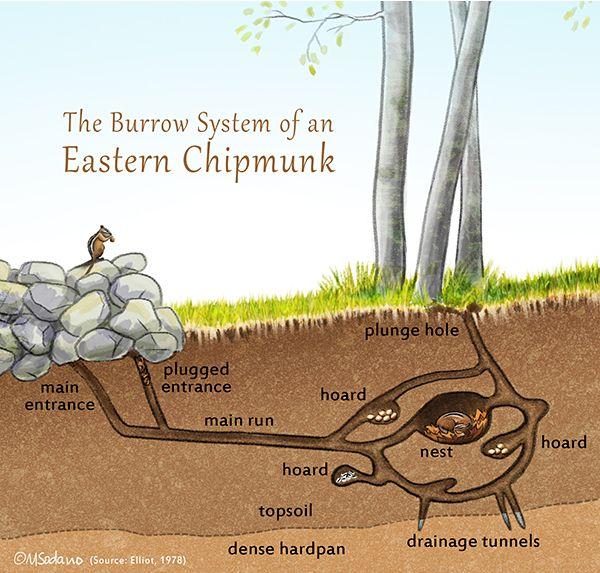 A Peek Inside A Chipmunk Burrow Chipmunk Burrow Chipmunks Eastern Chipmunk