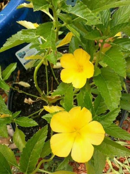 Turnera umifolia