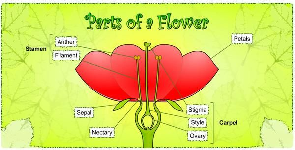 Parts of a flower for kids flower power pinterest english parts of a flower for kids ccuart Images