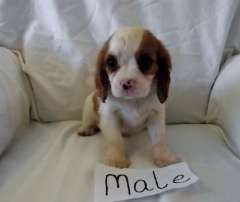 2 Male Puppies Puppies For Sale Kyabram Victoria Cavalier King