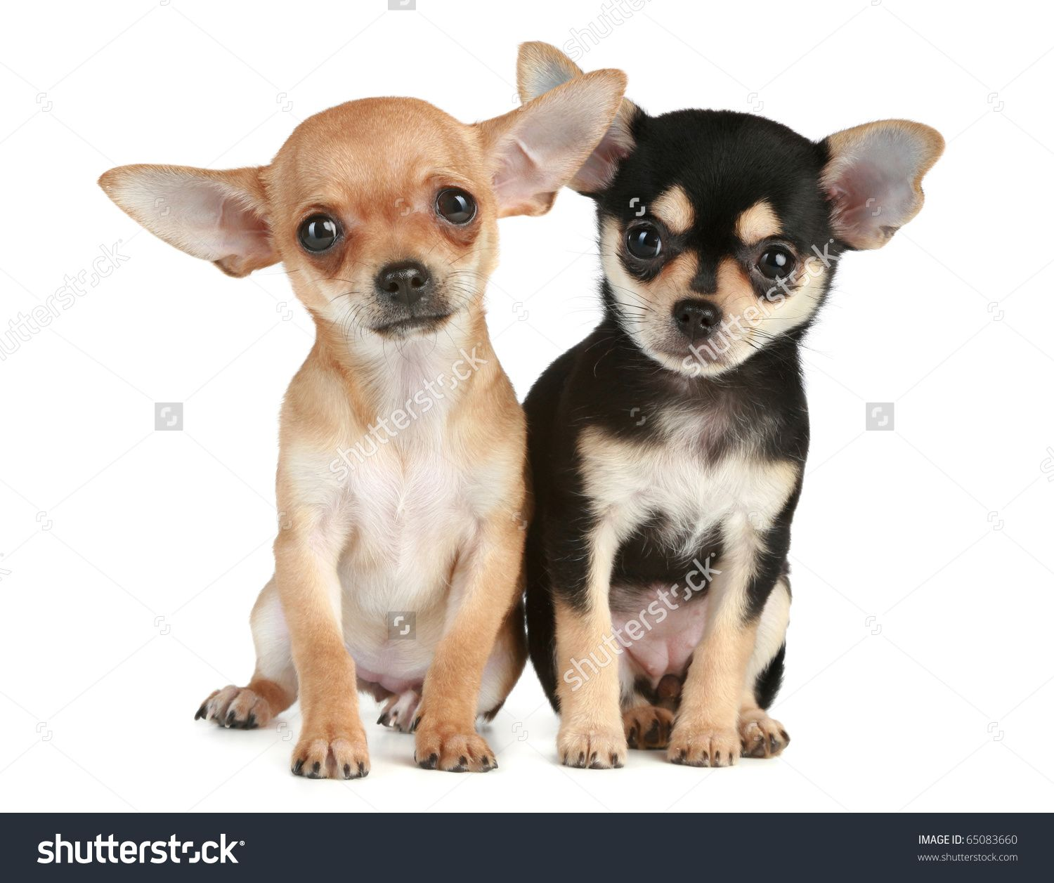 Two Funny Puppies Chihuahua 2 Months Stock Photo 65083660