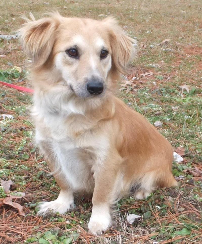 Adopt Cindy On Petfinder Spaniel Dog Dachshund Mix Dogs