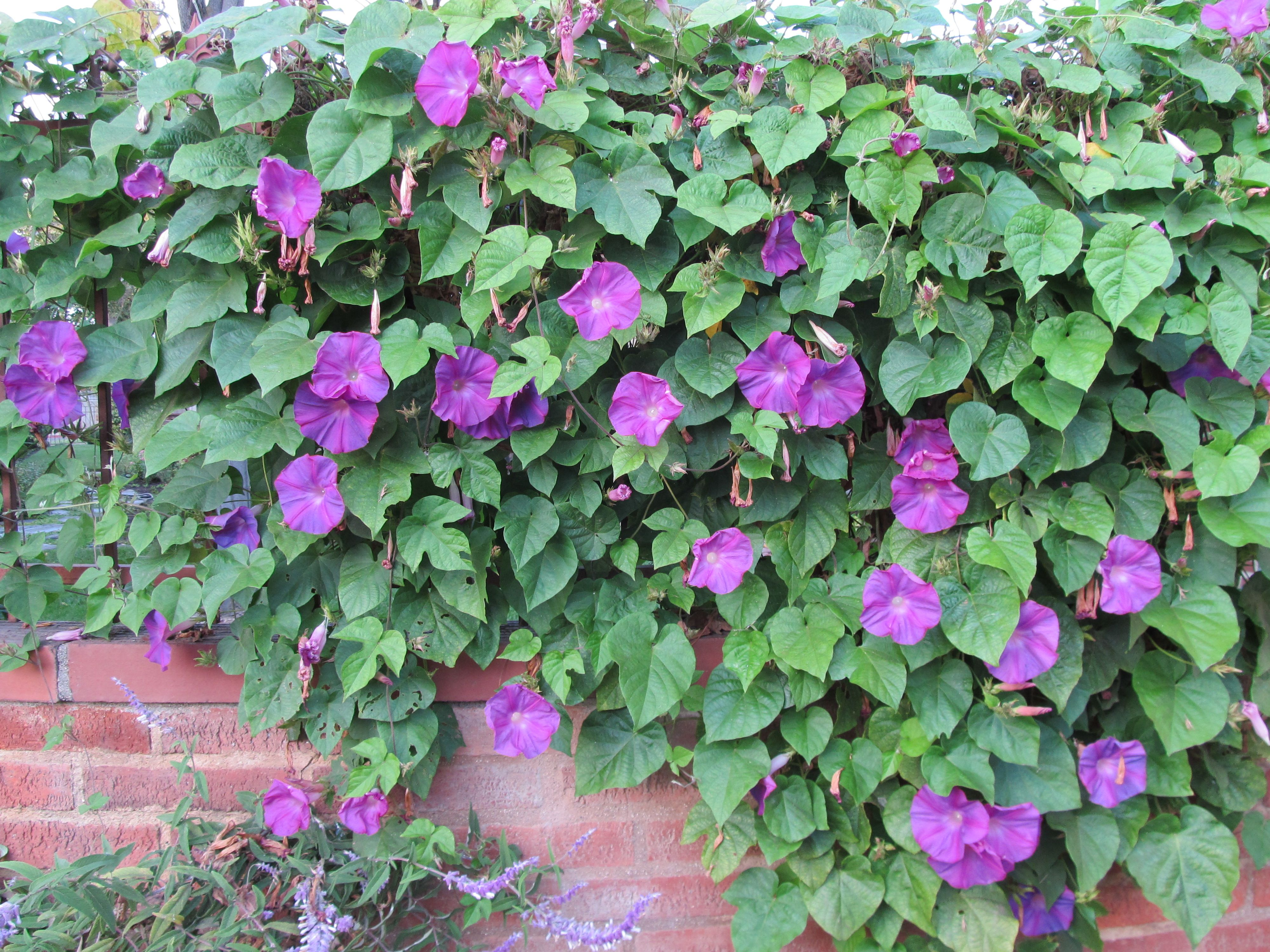 Morning Glory Vine On Fence Cindy Brown Design With Images Garden Vines Vine Fence Vines
