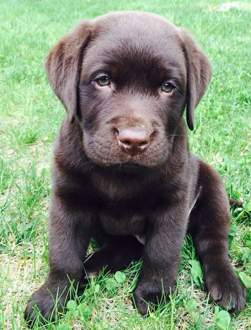 Bruno English Chocolate Lab 9 Weeks Old Lab Puppy
