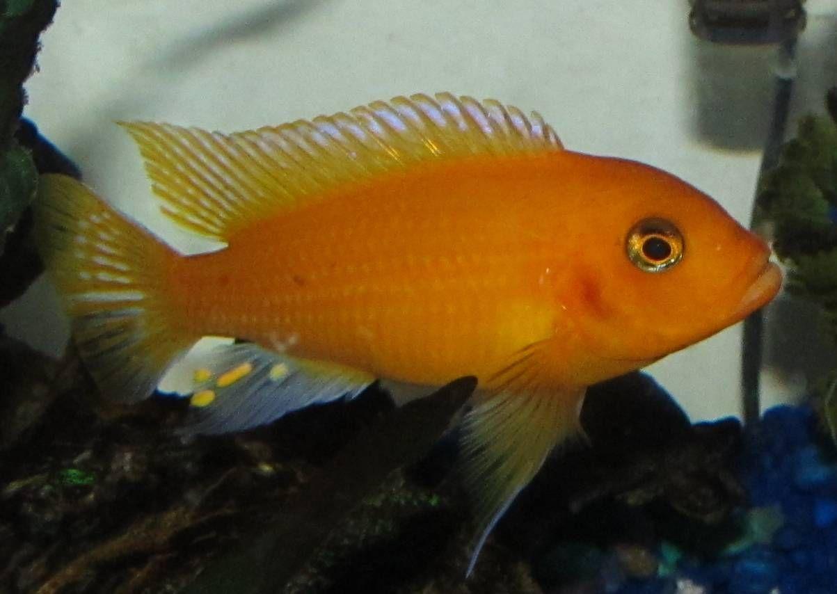 Images For Black And Orange Cichlid Cichlids Orange Black