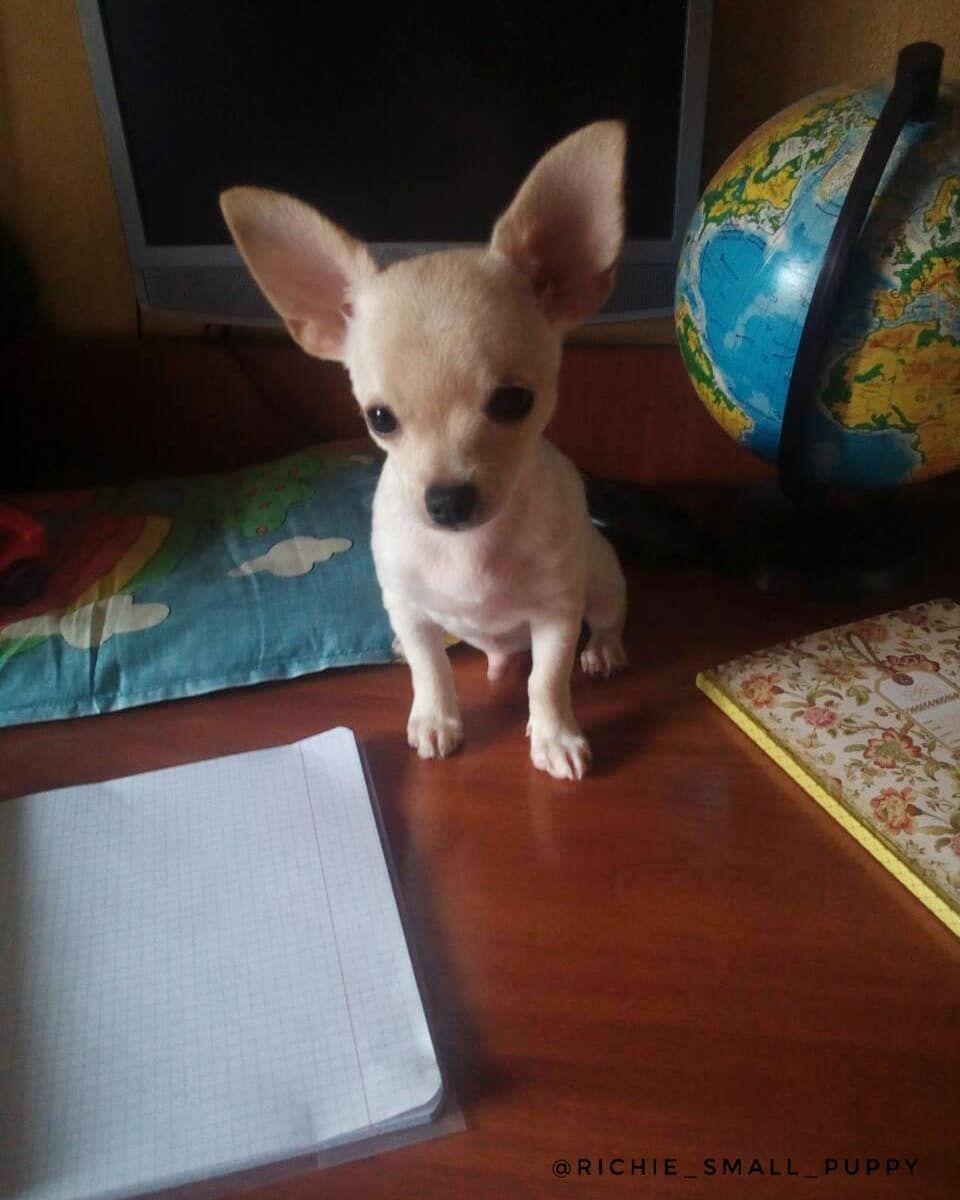 Studying Dog Puppy Richie Smallpuppy Lovedogs