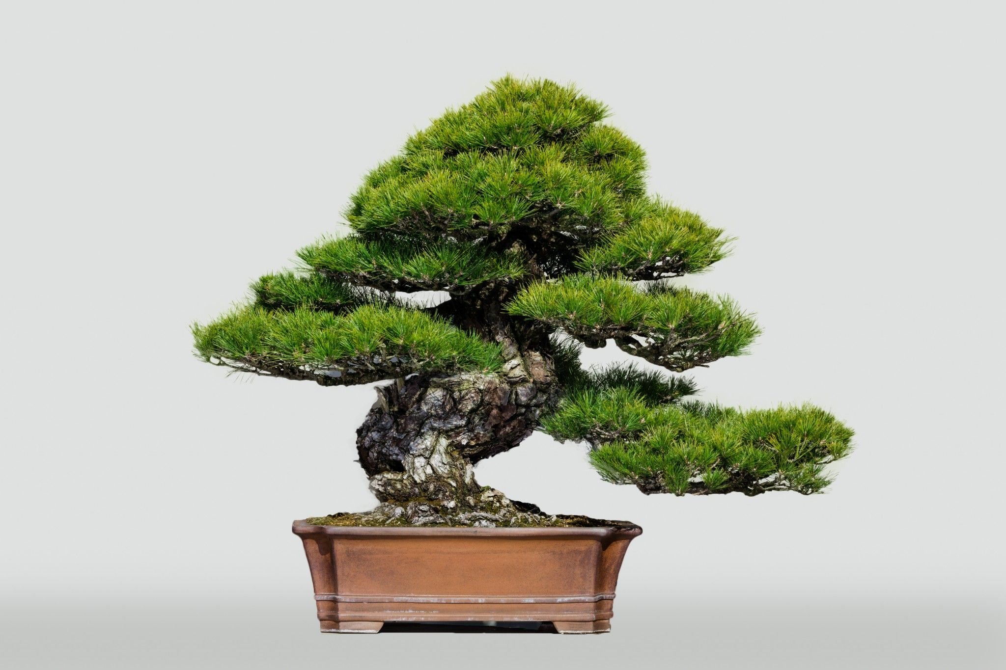Kuro Matsu Black Pine The Omiya Bonsai Art Museum Saitama Bonsai Art Pine Bonsai Bonsai Garden