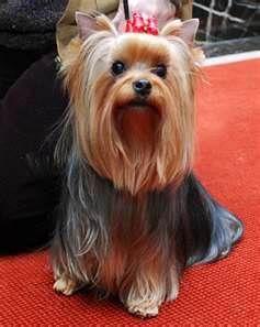 Little Princess Yorkshire Terrier Dog Dog Breeds Yorkie Dogs