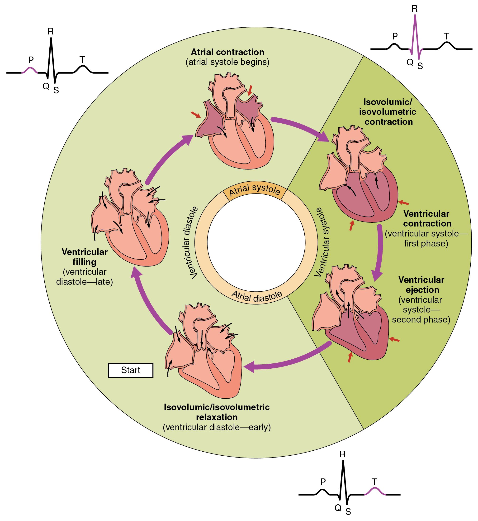 The cardiac cycle begins with atrial systole and progresses to this pie chart shows the different phases of the cardiac cycle and details the atrial and ventricular stages nvjuhfo Image collections