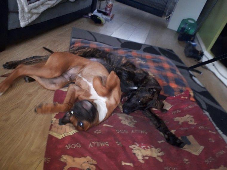 2 Rhodisian Ridgback Cross American Bulldog Pups Bulldog Puppies
