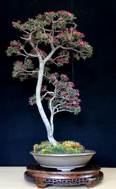 Leptospermum Scoparium Manuka New Zealand Tea Tree Bonsai Tree Bonsai Flower Bonsai Garden