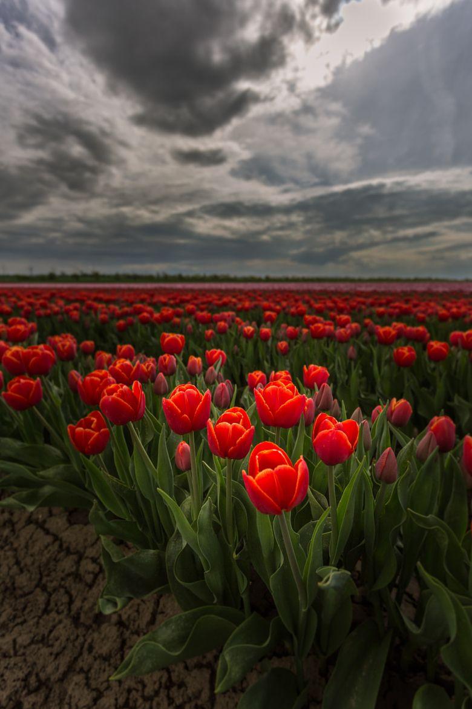 Magia Tulipani di Alexander Schmeißer su 500px