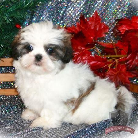 1500 2500 Pennsylvania Shih Tzu Puppies Shih Tzu Puppies Shih