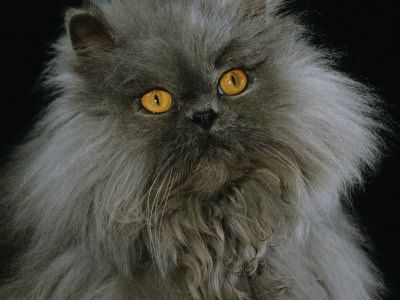 Own a Blue Persian Longhair  But mine is much more beautiful xxx