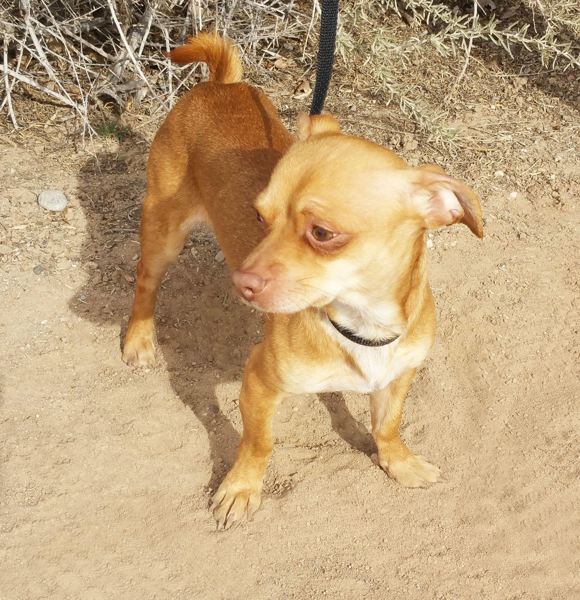 Dachshund Dog For Adoption In Albuquerque Nm Adn 474642 On