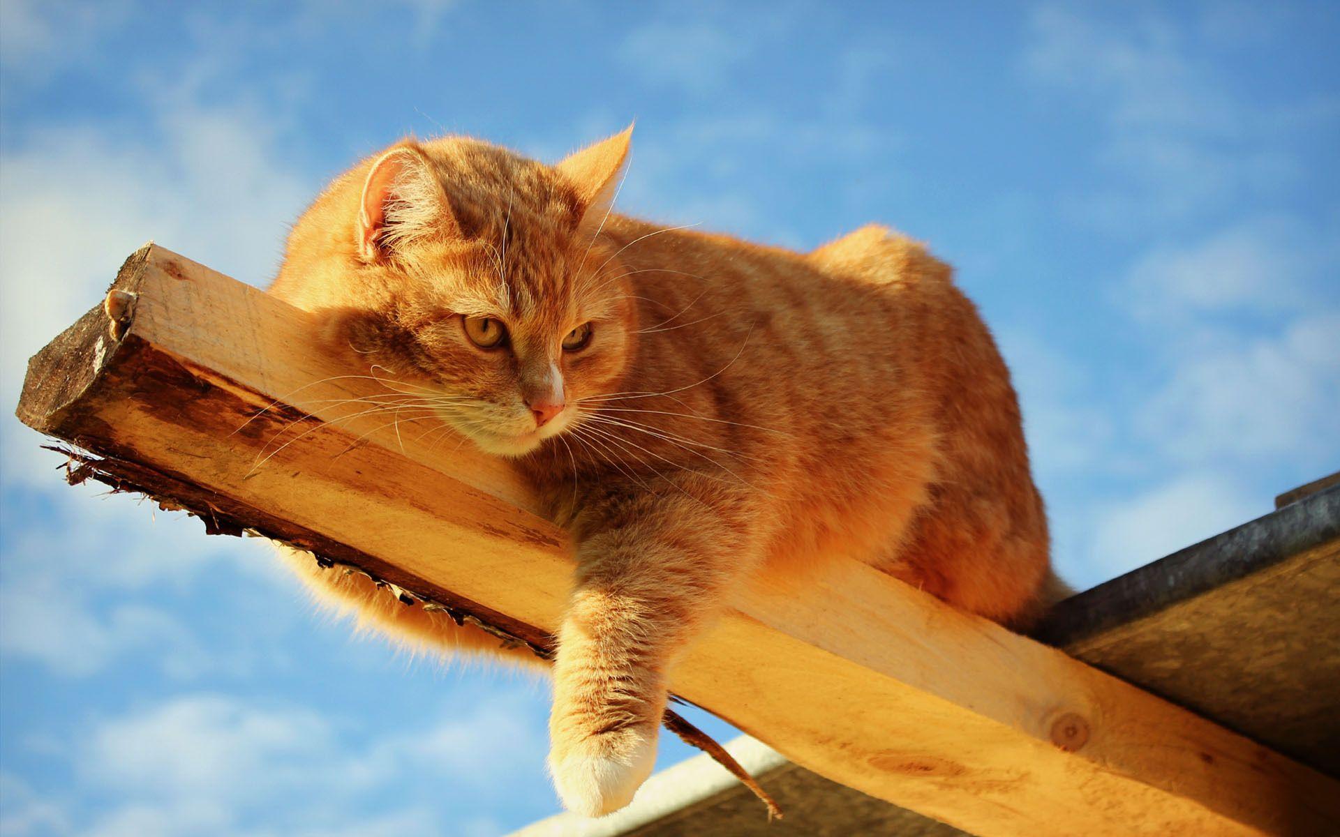 Dark Orange Tabby Cat - Bing Images