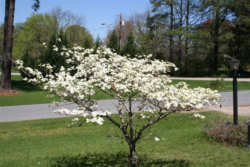 dwarf dogwood Our ugly house curb appeal Pinterest