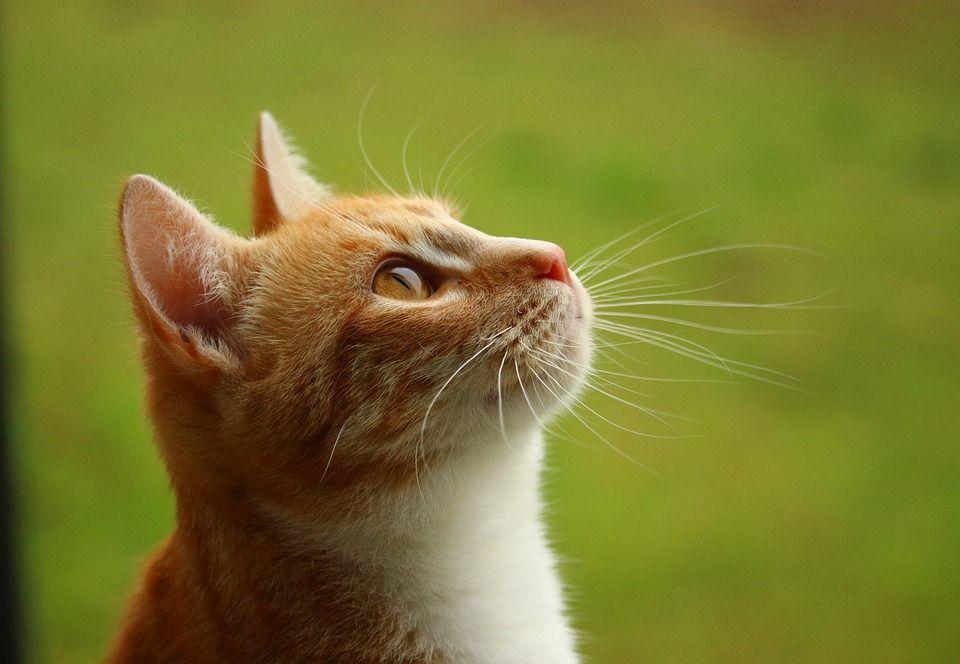 Free Image On Pixabay Cat Mieze Kitten Tiger Cat Kittens Cutest Free Cats Cute Cat Illustration