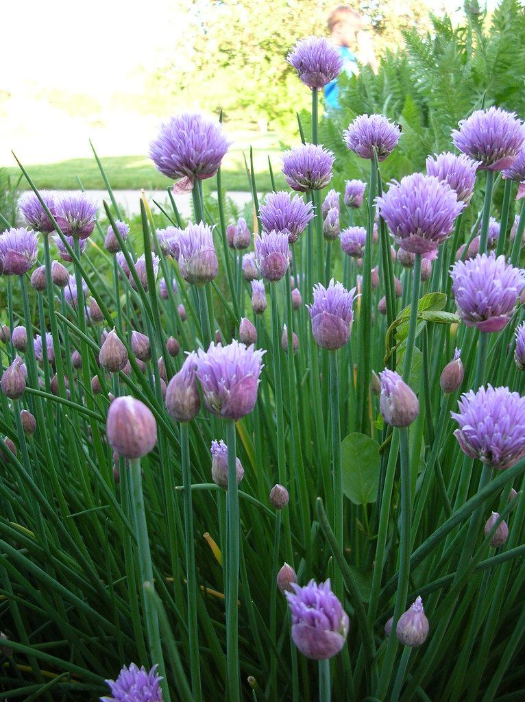 Planting Seeds Water Plantinghibiscusseeds Chives Plant Chive Flower Plants