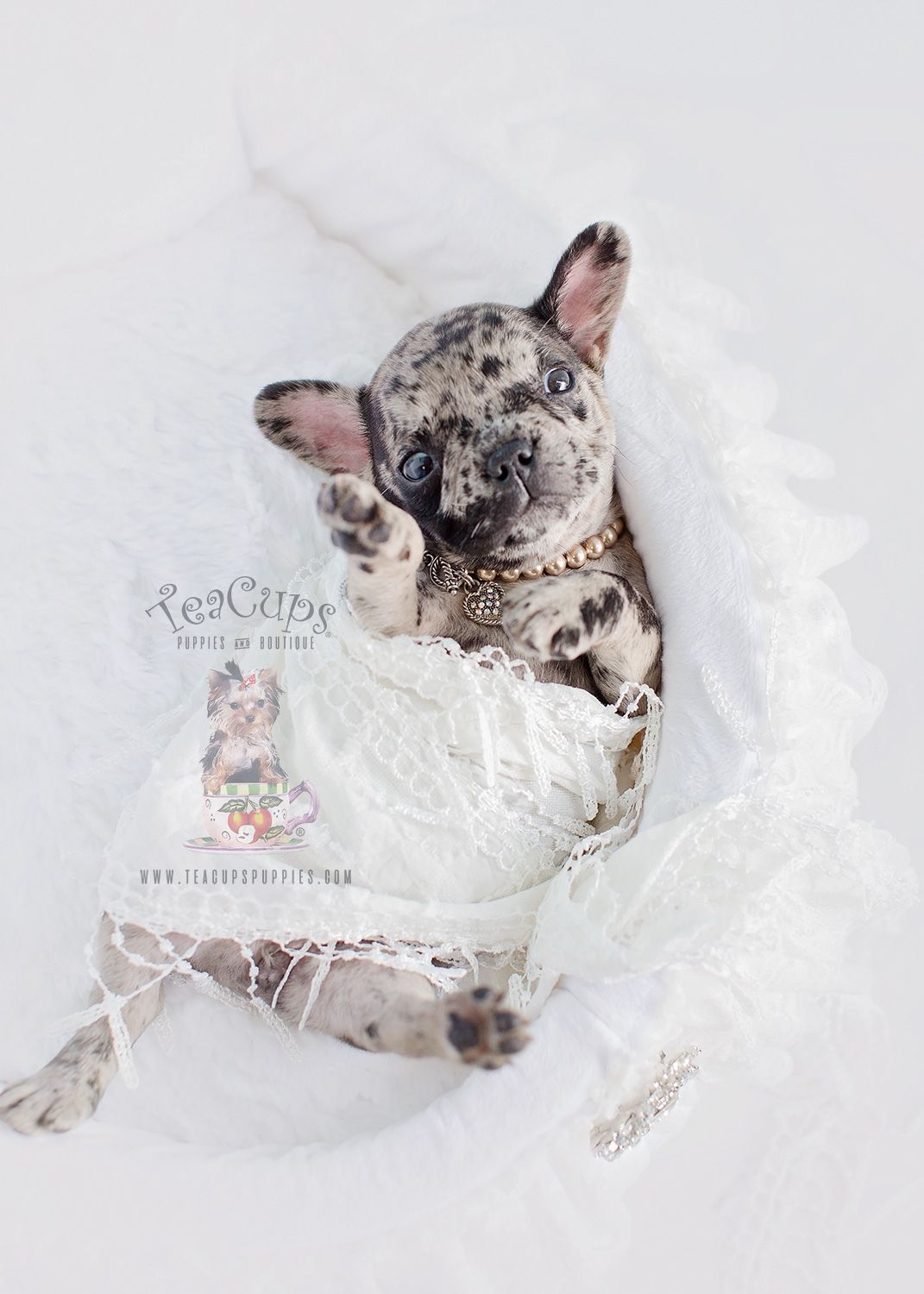 Rare And Beautiful French Bulldog Puppy By Www Teacupspuppies Com