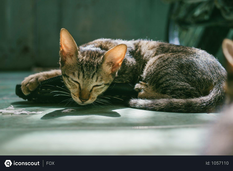 Free Brown Tabby Cat Sleeping Photo download in PNG & JPG