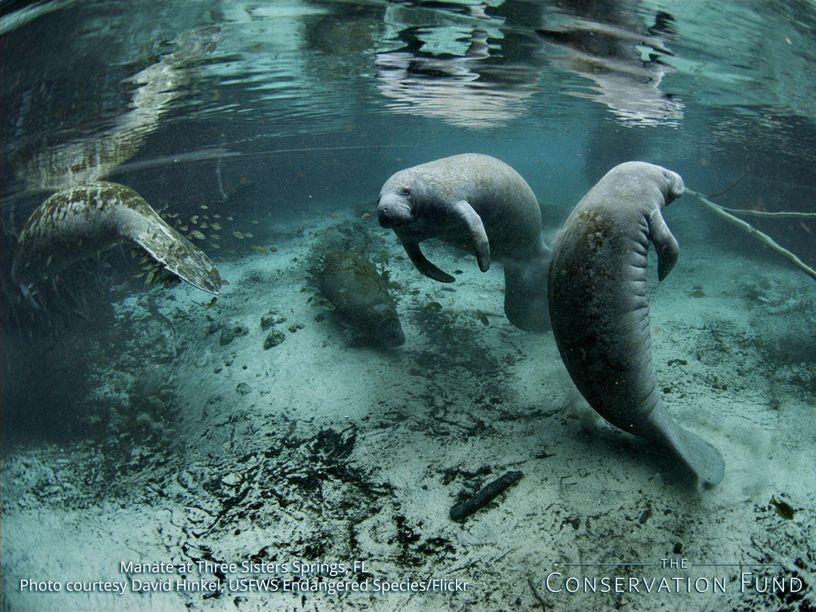 Manatees Three Sisters Springs Florida And Manatee Facts Animals Manatee Manatee Florida