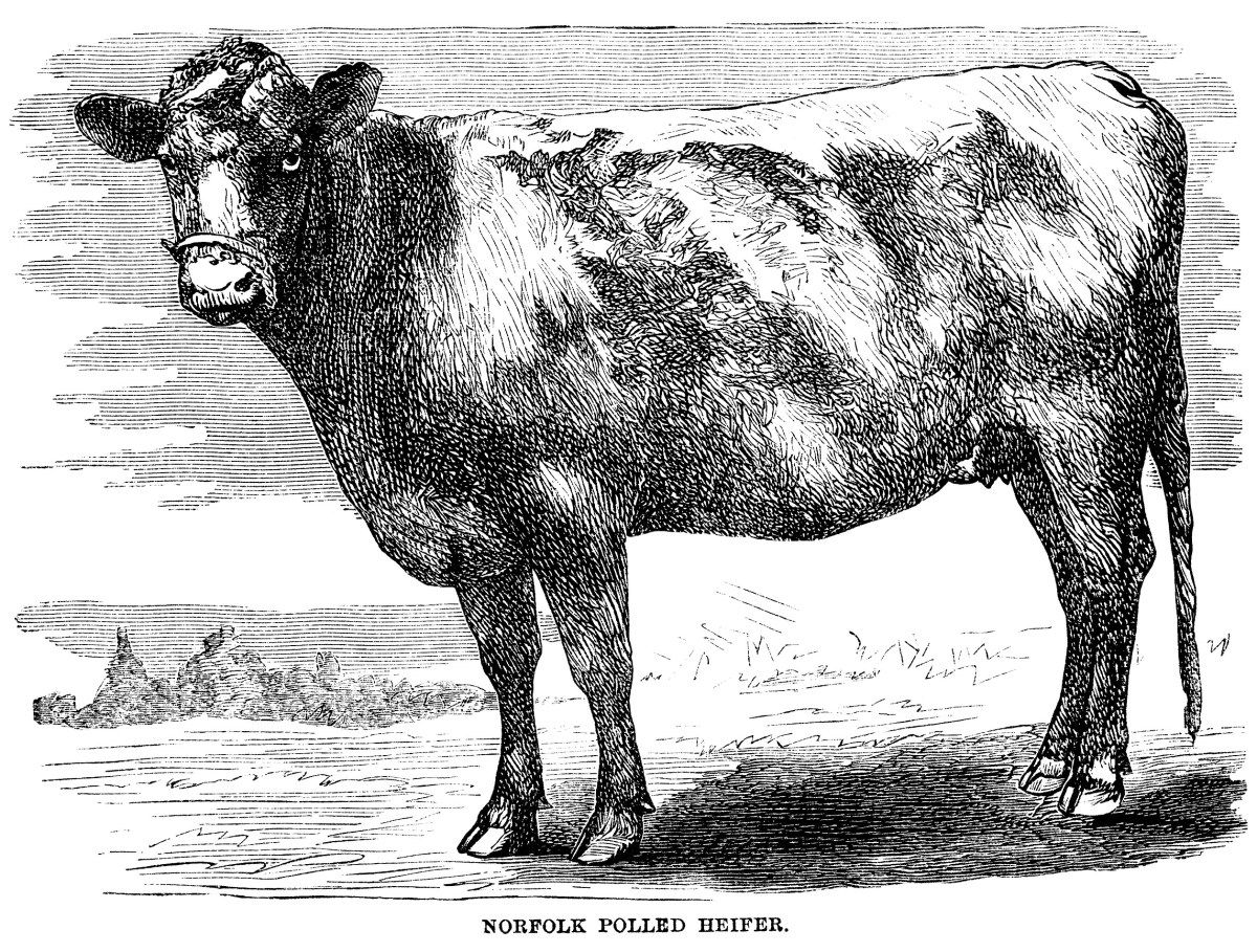 hight resolution of vintage cow engraving free clip art