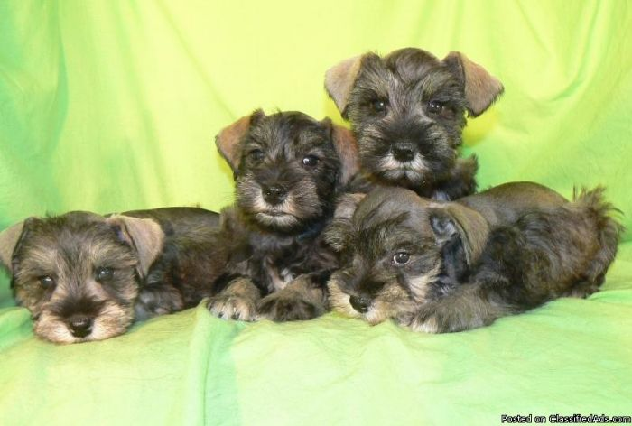 Mini Schnauzer Puppies Price 300 For Sale In Tempe Mini Schnauzer Puppies Schnauzer Puppy Mini Schnauzer