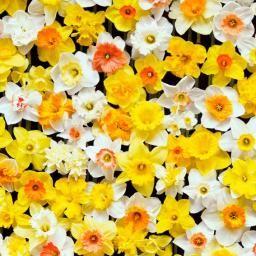 Blumenzwiebeln online kaufen bei Gärtner Pötschke garten