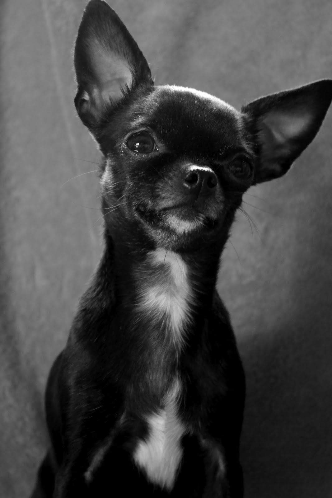 Photographs Of The Week 7 2 7 8 2012 Cute Chihuahua